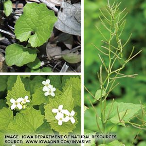 Garlic mustard plants images source www.iowadnr.gov
